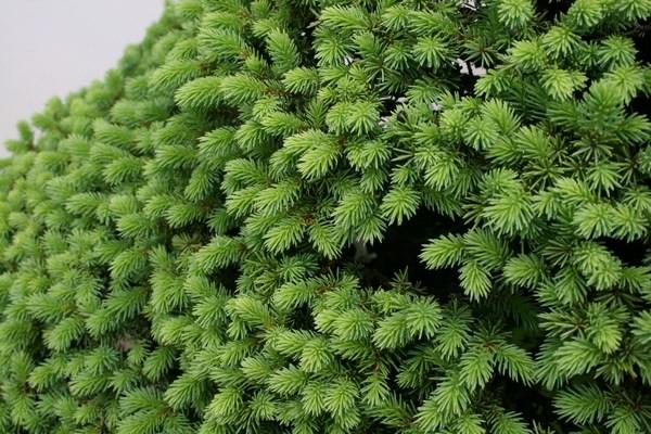 Pinching conifers