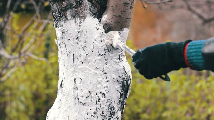 whitewashing trees in autumn