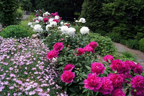 Flowerbed with peonies