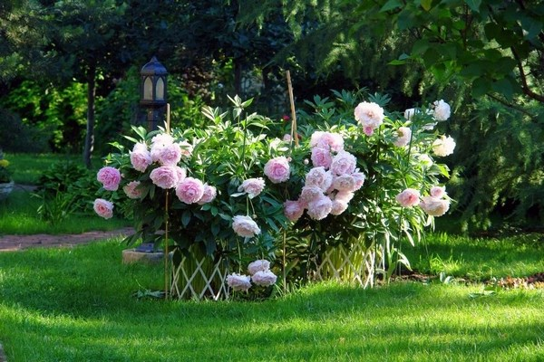 Support for peonies