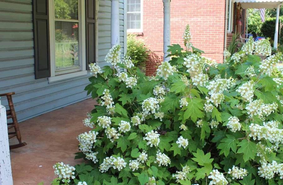 Hydrangea oakleaf
