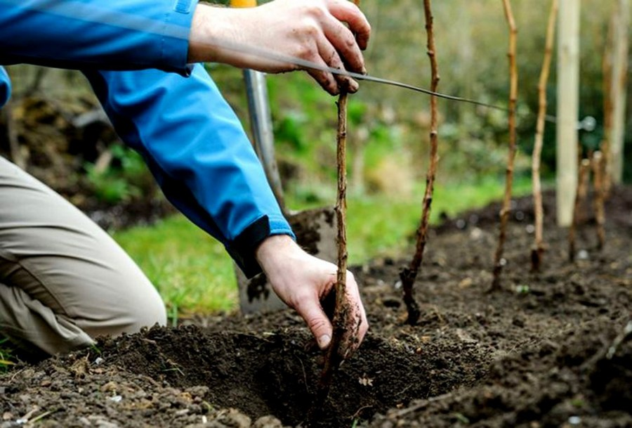 at what distance to plant shrubs