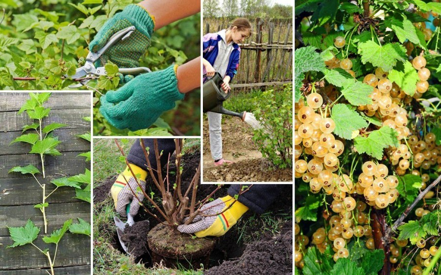 planting currants