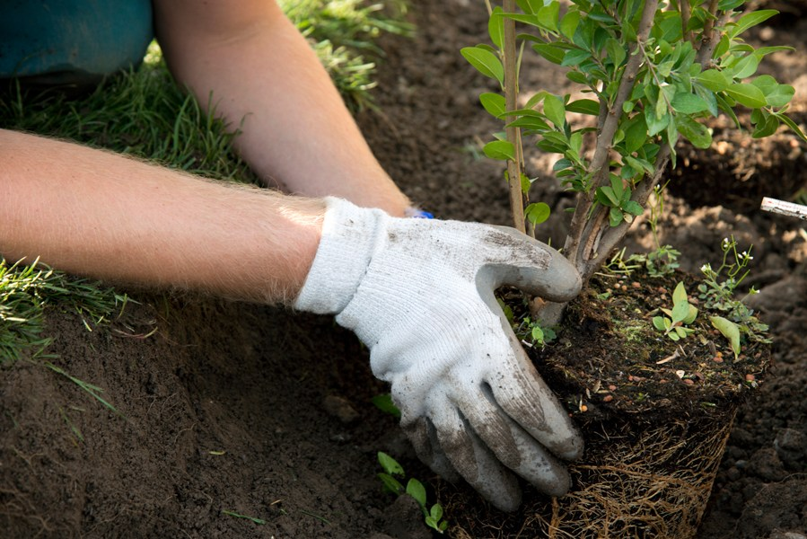 planting ornamental shrubs