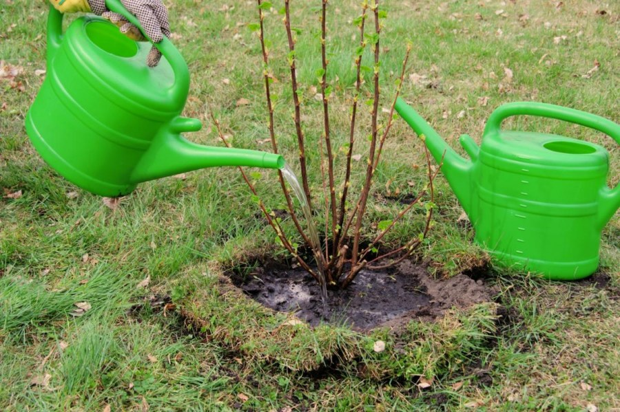 how to plant currants by cuttings