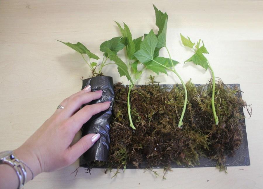 currant cuttings
