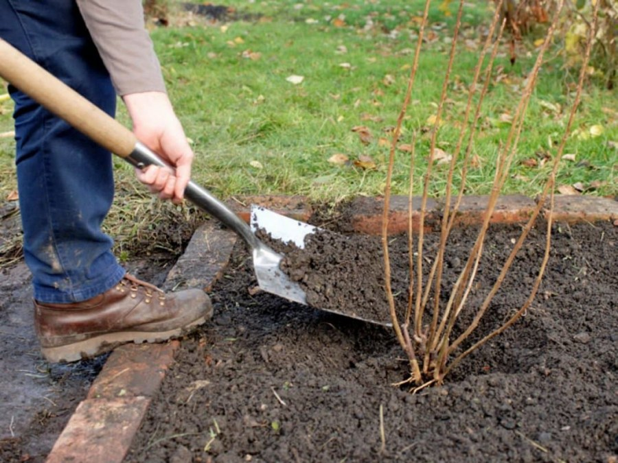 propagation of black currant by cuttings