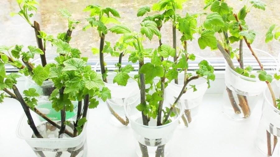 preparation of seedlings before planting