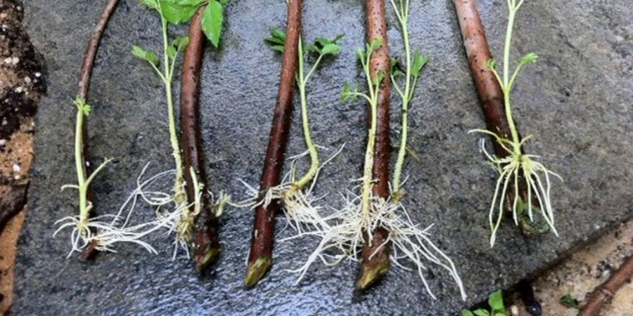 reproduction of black currant roots