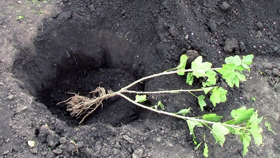 digging a hole for transplanting black currant cuttings