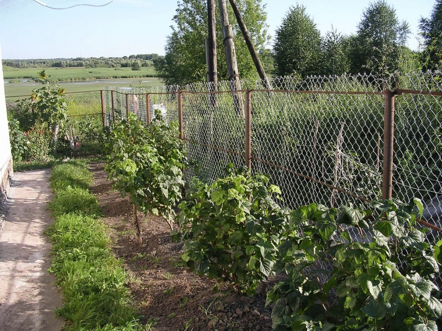 at what distance to plant currants