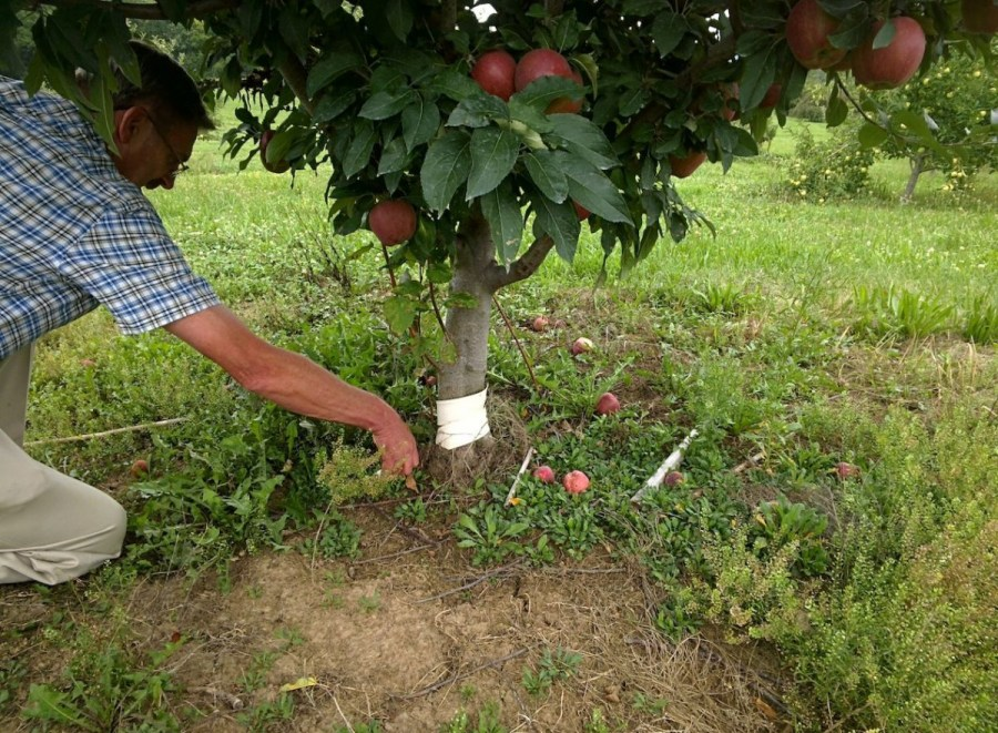 planting an apple tree in autumn