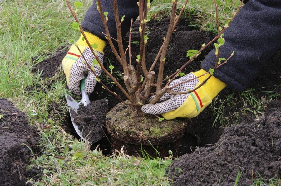fruit trees planting