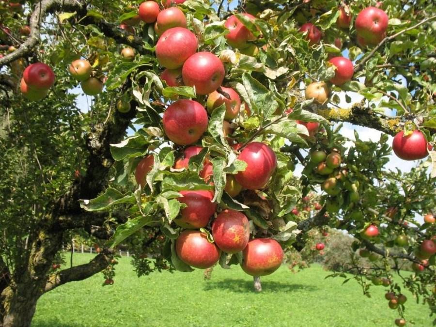 fruit trees transplant