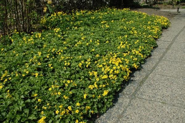 Waldsteinium trifoliate