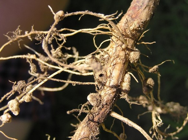 Lupine root
