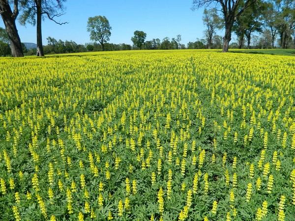 Yellow lupine