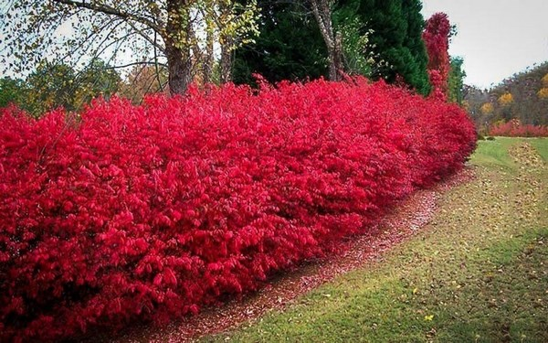 Spindle tree hedge