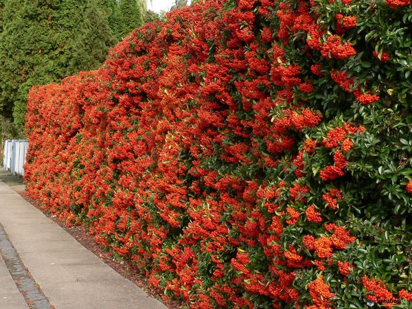Bright red pyracantha hedge