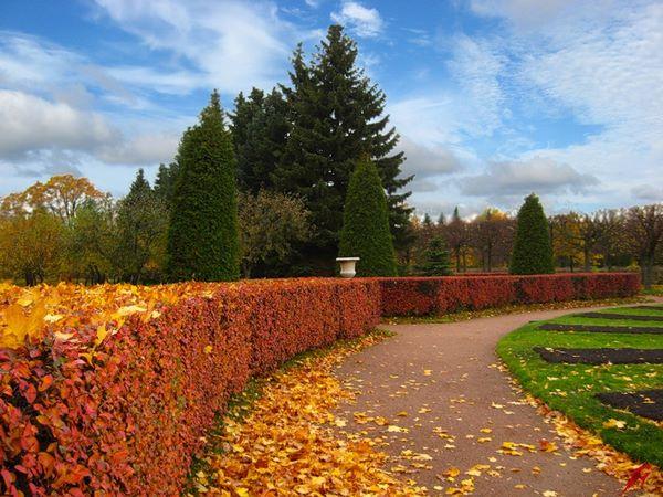 Cotoneaster border in autumn