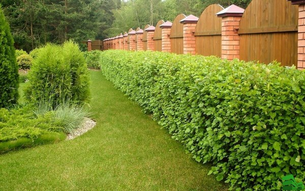 A hedge for decorating a fence