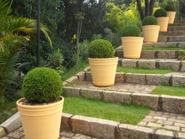 Boxwood in pots