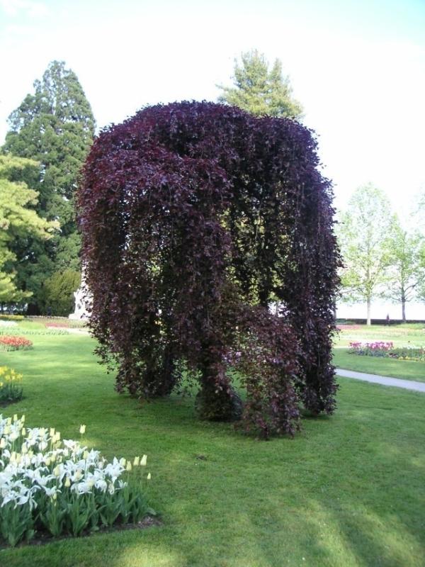 Forest beech Purpurea Pendula