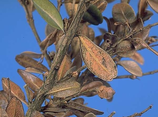What is boxwood sickness - the two most common infections