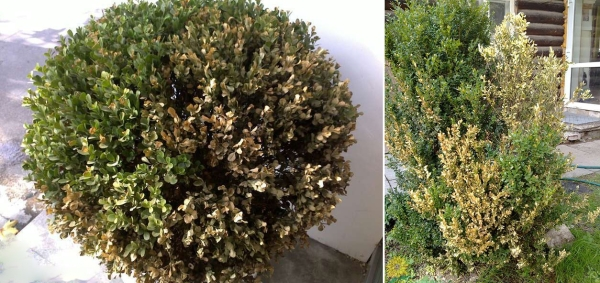 Boxwood affected by the fungus Volutella buxi