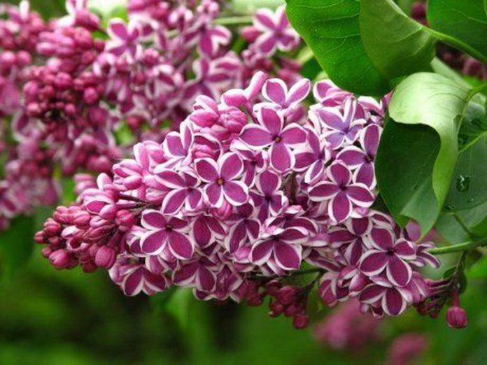 Description of the best varieties of lilac with photos and names