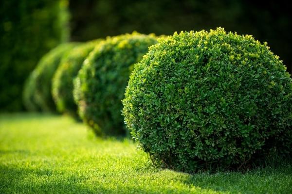 Boxwood ornamental shrub