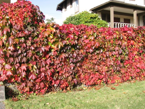 Hedge in autumn