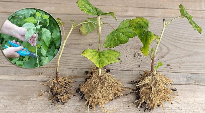 how to plant black currants with cuttings