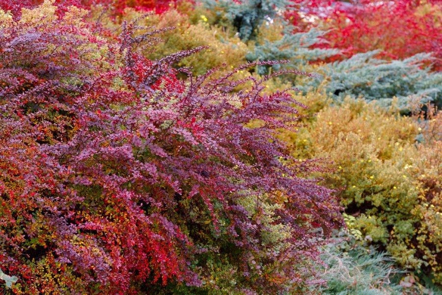 Autumn shrubs for landscape design