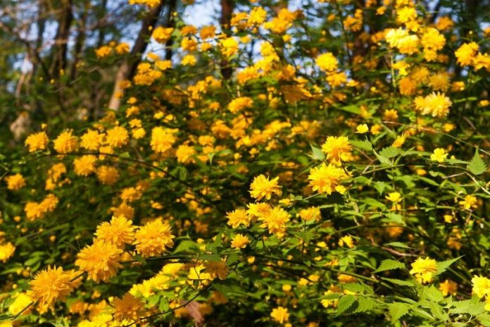 planting and care in the open field, cultivation features, description of the shrub, varieties