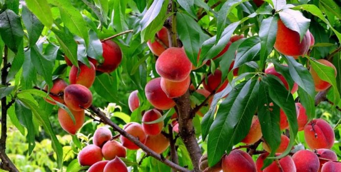 10 best peach varieties that will survive the cold winter