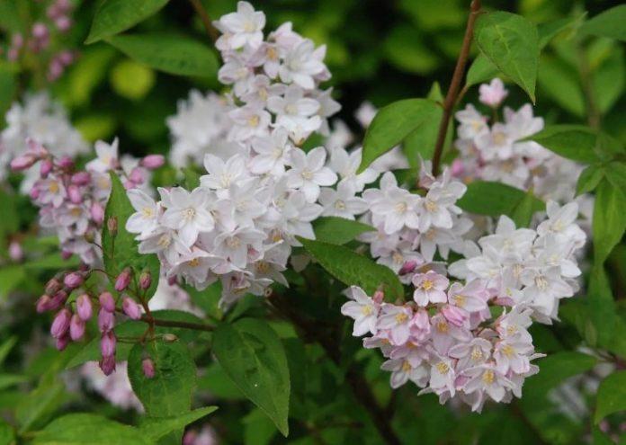 Deytsia is blooming - summer is coming